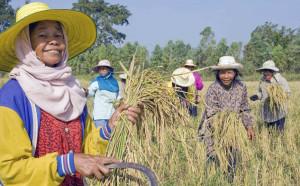 Rice harvesting Issan, Thailand