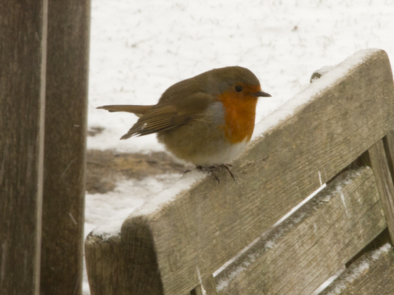 Searching for crumbs near Jermyns House in the snow this Robin is a colourful little friend.